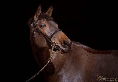 portrait cheval sur fond noir