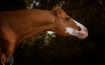 tête de cheval alezan en liberté