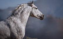 portrait d'un cheval gris sur un fond bleu