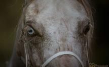 regard vairon d'un cheval gris